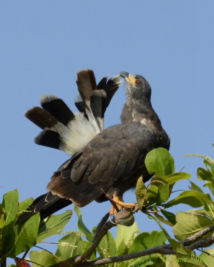 Hooked bill of Snail Kite can preen feathers and extracts out snails from their shells