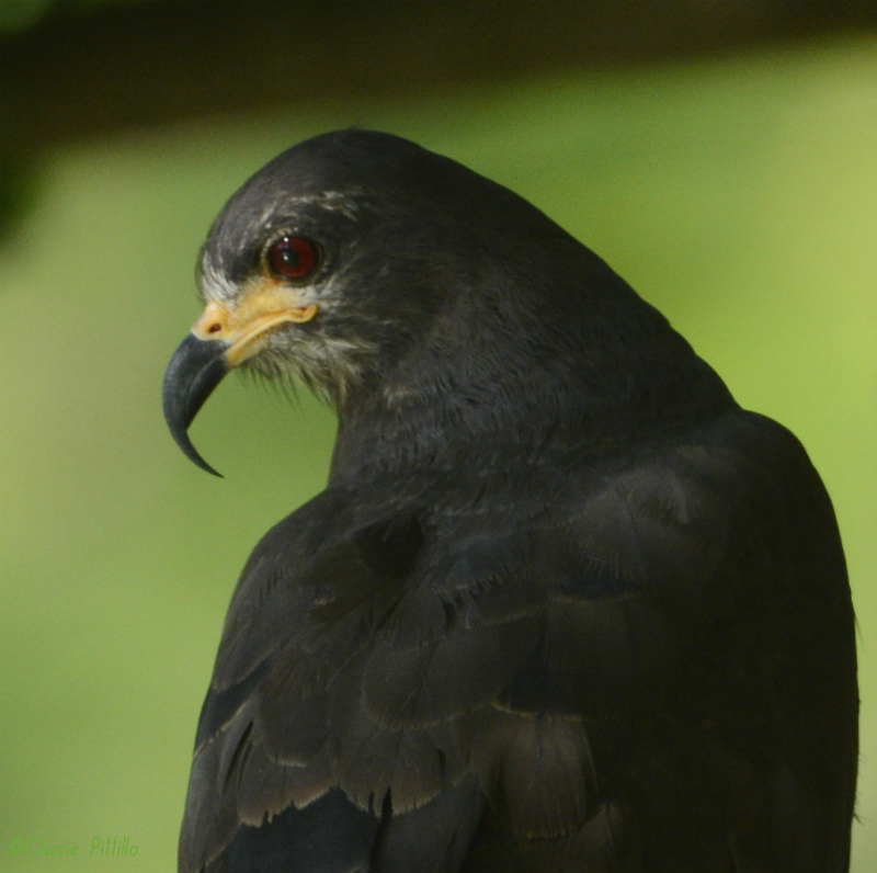 Snail Kite hooked bill adapted to remove a snail from its shell