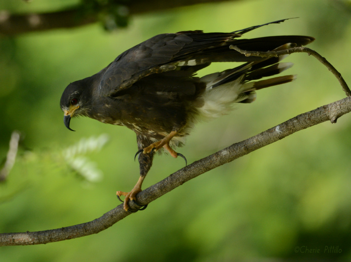 Snail Kite lightens its load before flight