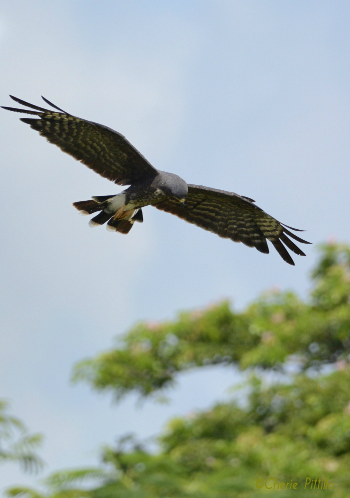 Snail Kite searches above shallow wetlands for snail prey