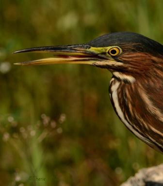 Tongue of Green Heron cleans right side of lower bill
