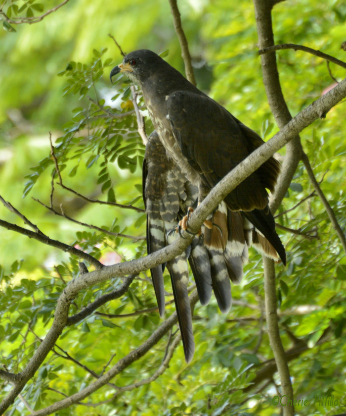 Young Snail Kite stretches out each wing and each foot before flight