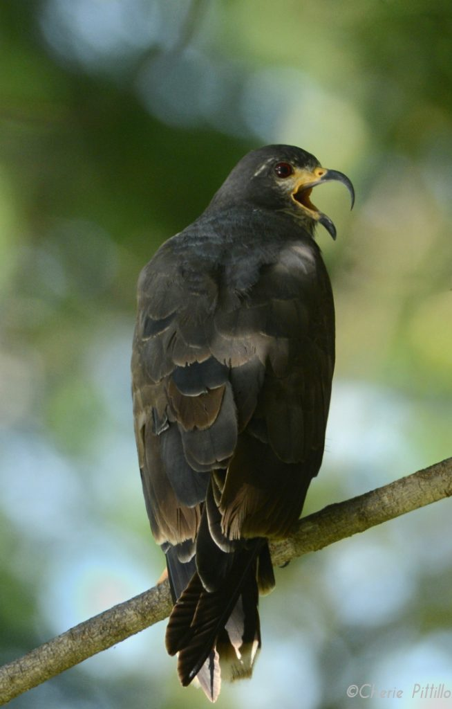 Young male Snail Kite emits his squeaky screen door call