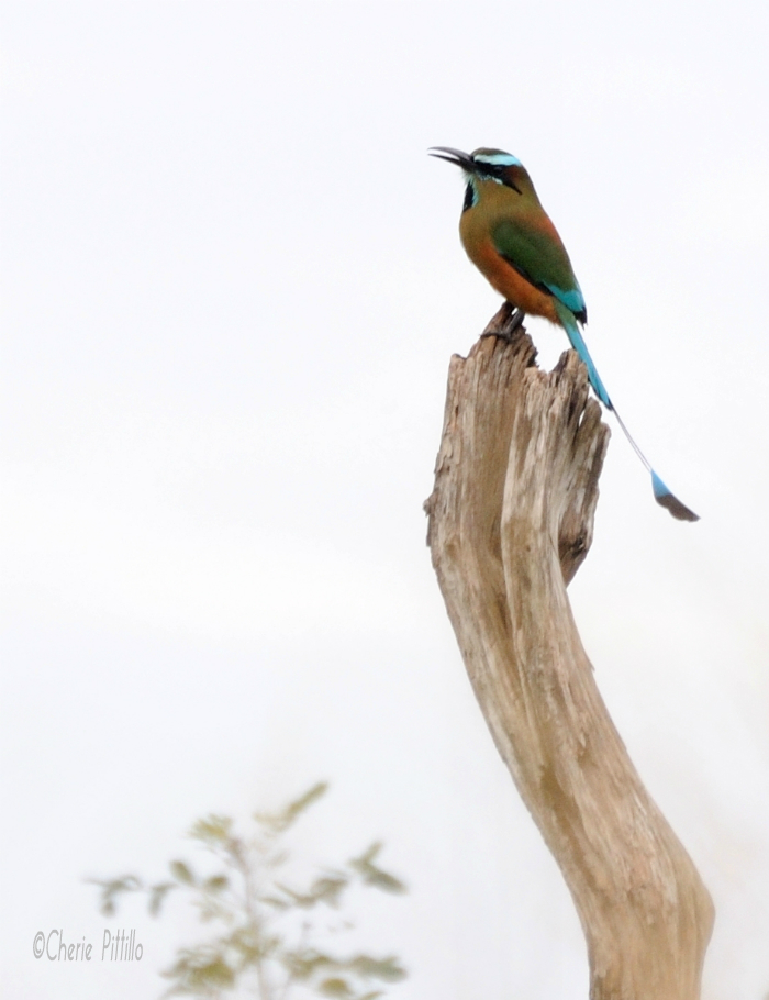 Artist's Palette Turquoise-browed Motmot