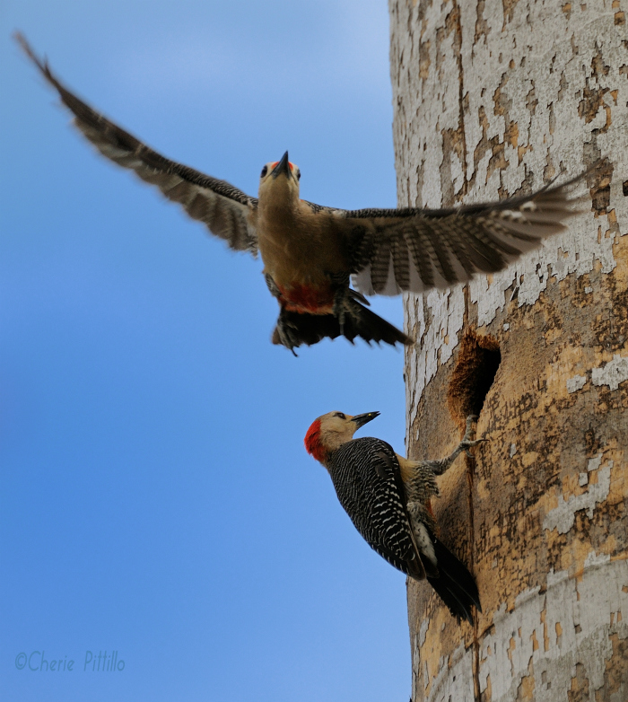 Male Golden-fronted Woodpecker flies away from nest while female waits to feed young