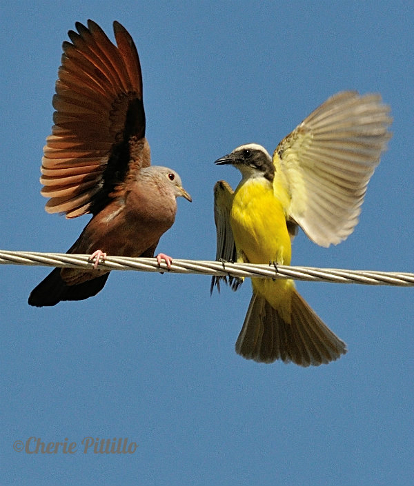 Ruddy Ground Dove displays against aggravating Social Flycatcher
