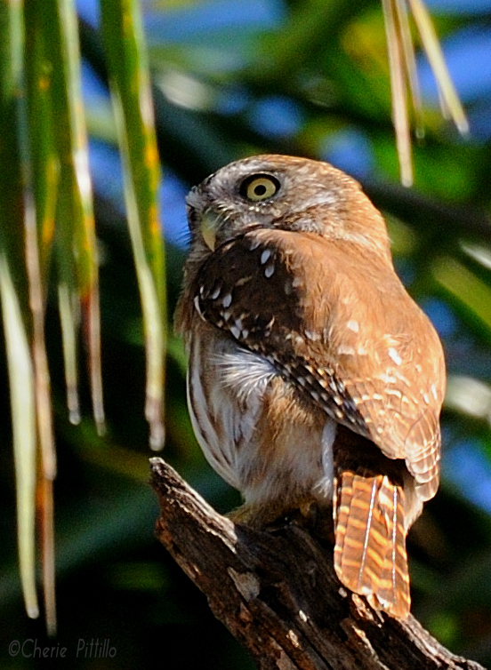 Stuffed toy-like Ferruginous Pygmy Owl