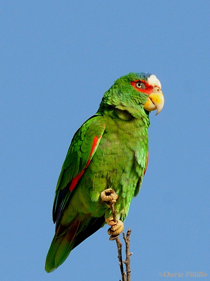White-fronted Parrot male
