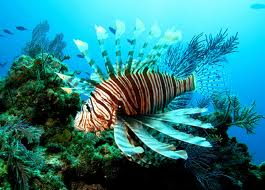 lionfish (Pterois antennata) in the Mexican Caribbean