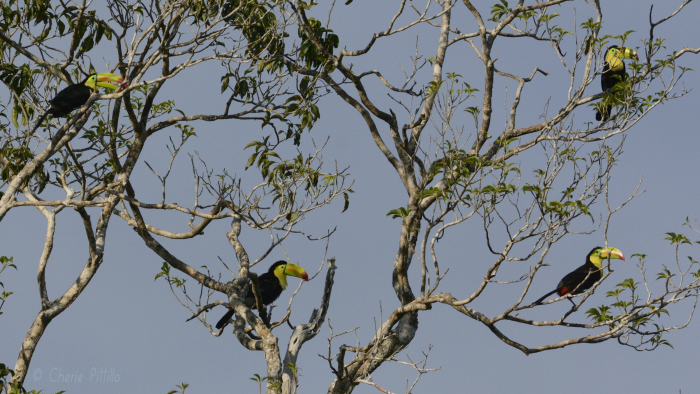 4 of 12 Keel-billed Toucans in one tree
