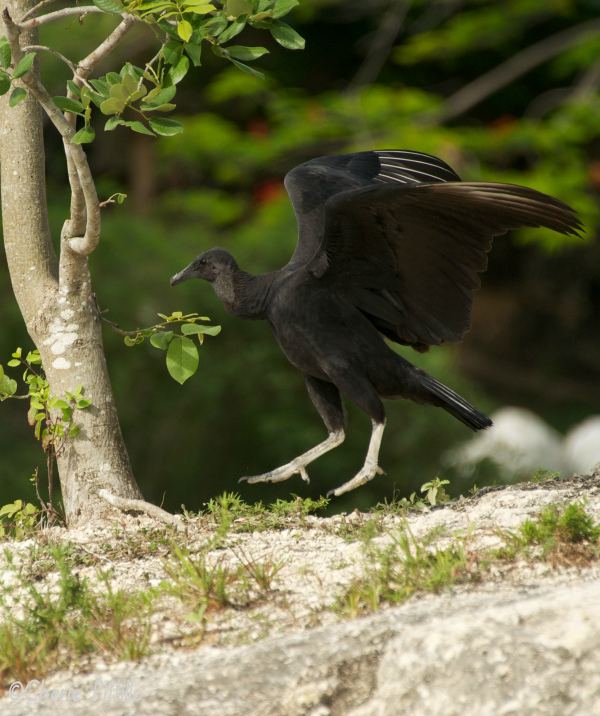 Black Vulture hops toward tree to tag it