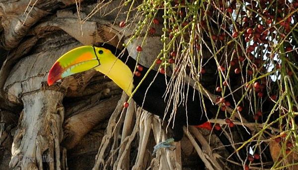Keel-billed Toucan in front of my Merida home