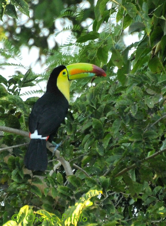 Keel-billed Toucan in my Merida centro backyard