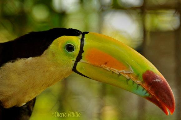 Keeled-bill Toucan in captivity at Cozumel