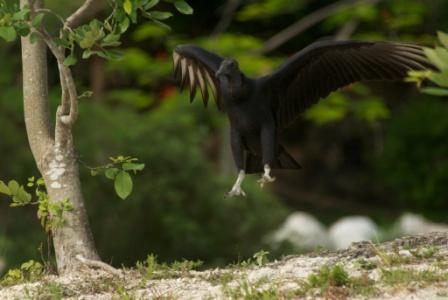 Landing gear down, wing flaps up, slower descent. Practice landing by young Black Vulture