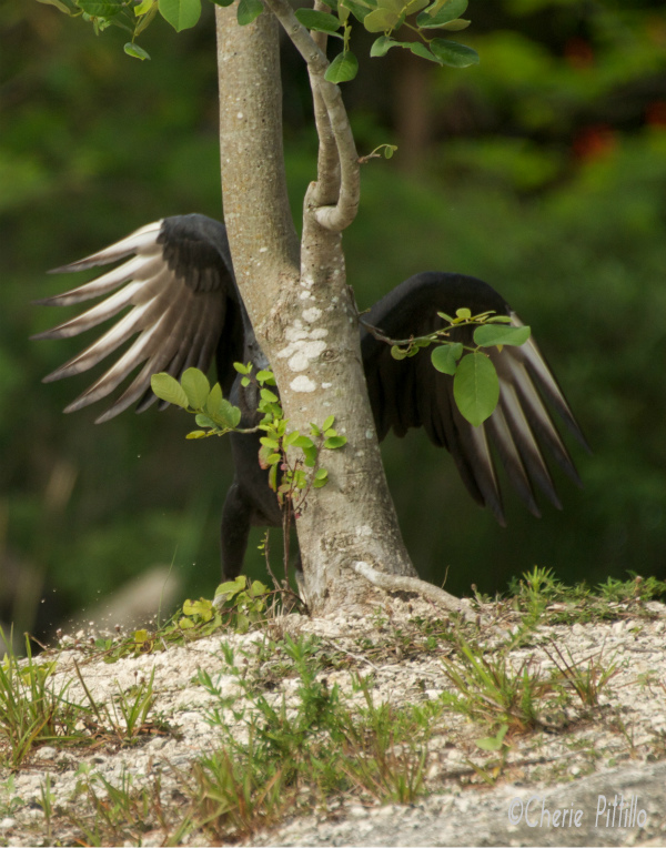 Oops, young Black Vulture overshot its landing
