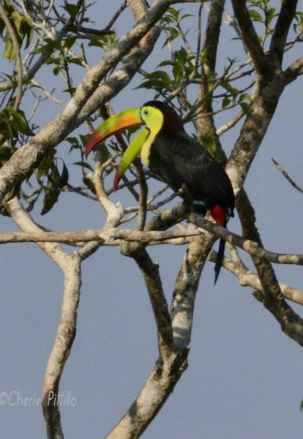 Open bill of Keel-billed Toucan