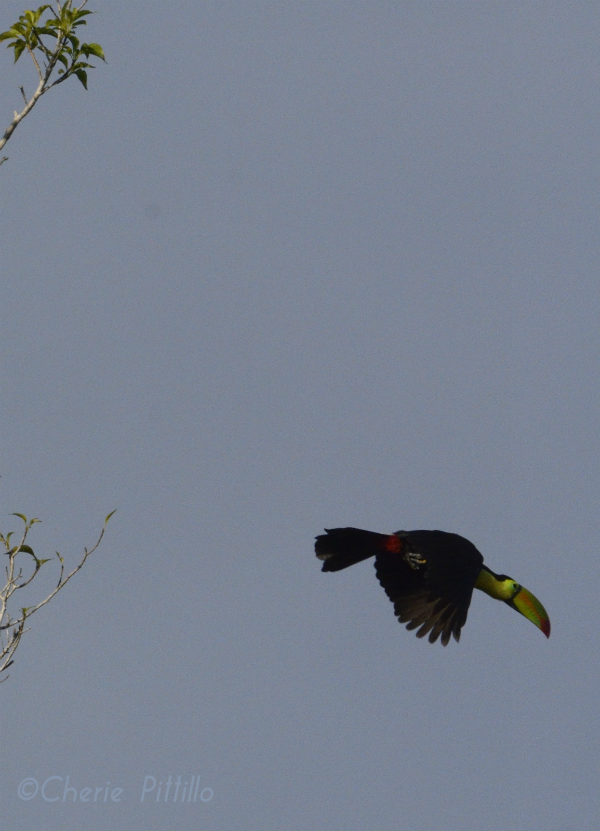 The bill seems to lead the way for the Keel-billed Toucan in flight