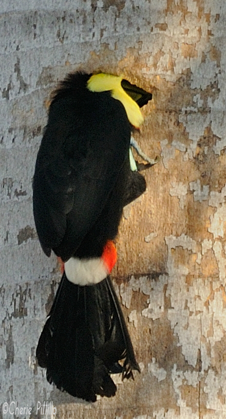 Toucan checks out former woodpecker hole enlarged by White-fronted Parrots