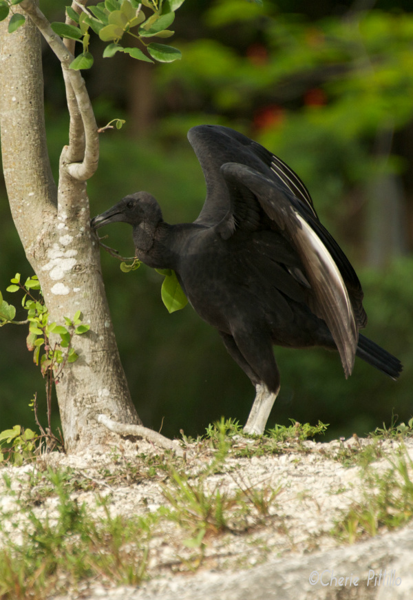 Touchdown! Young Black Vulture tags tree after successful landing