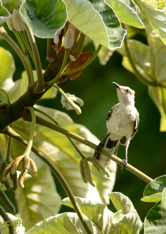 Young Tropical Mockingbird searches for insects