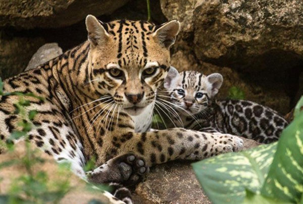 Mother Ocelot and baby (Photo: Mexico Daily News)