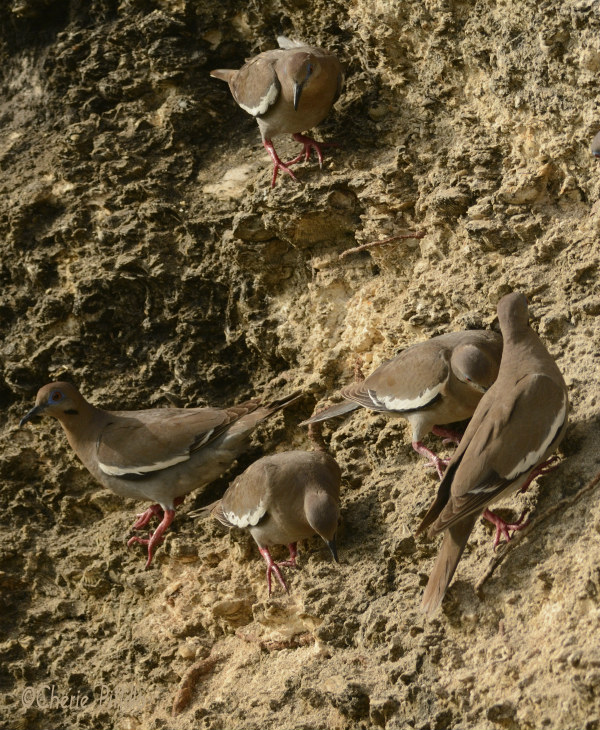 Flock of White-winged Doves gather to eat grits