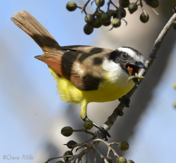 Great Kiskadee continues to eat fruit after peeling each one