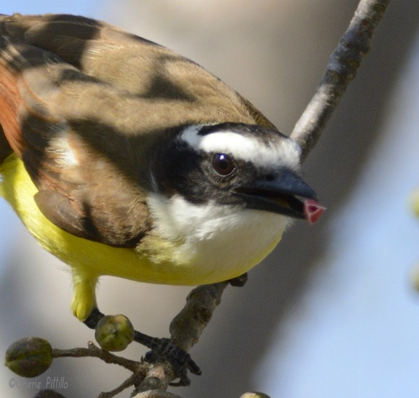 Great Kiskadee removes triangular juiciness from circular fruit