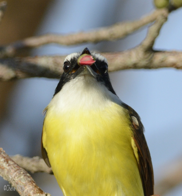 Great Kiskadee still a peeling