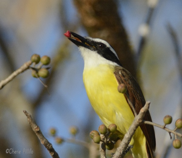 Great Kiskadee tongue action with fruit
