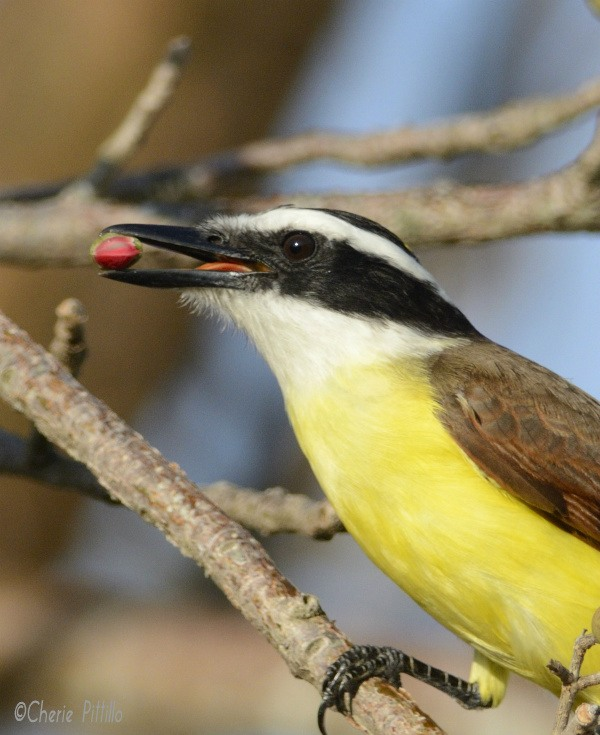 Great Kiskadee tongue aids in turning the fruit