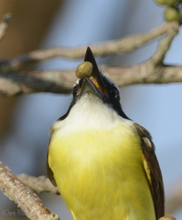 Head toss of the Great Kiskadee changes fruit position in mouth