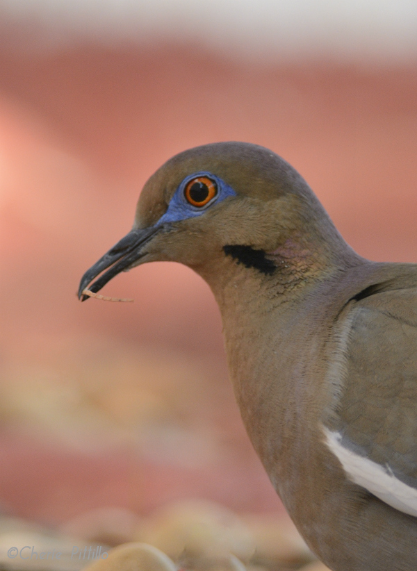 Male White-winged Dove gathers a twig for nest material for female to construct the nest, more or less.