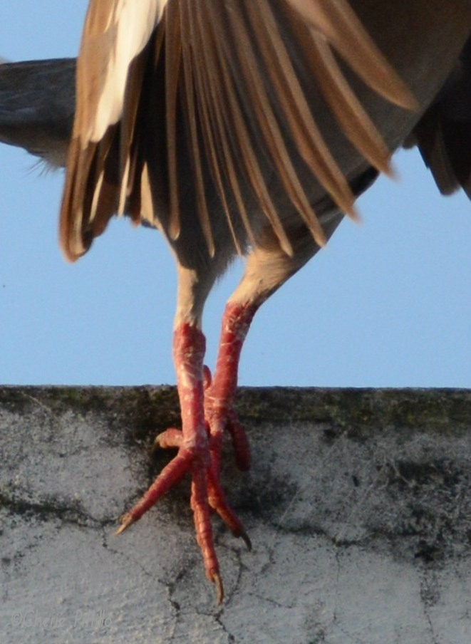 Reddish-pink color intensifies in legs and feet during breeding season. Kinky boots.