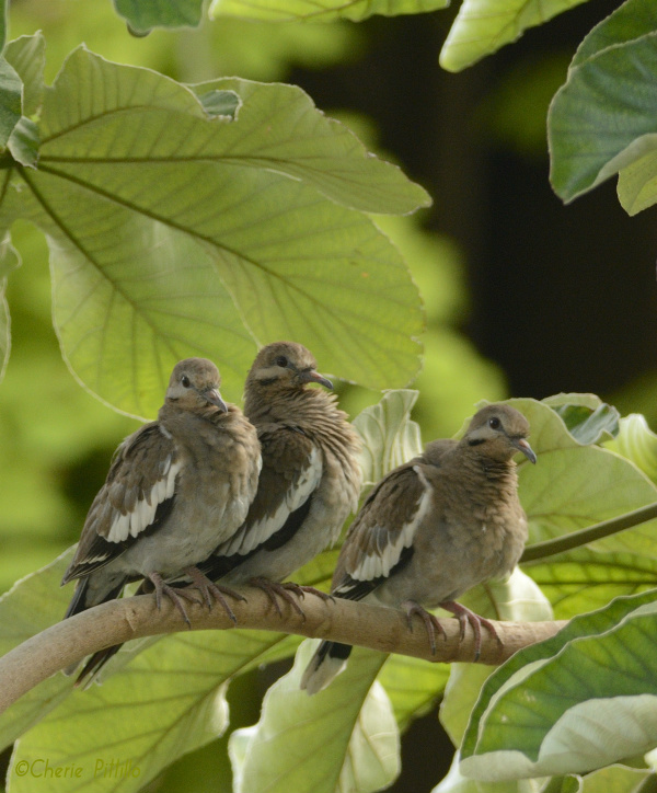 Silence of the limbs...White-winged Doves