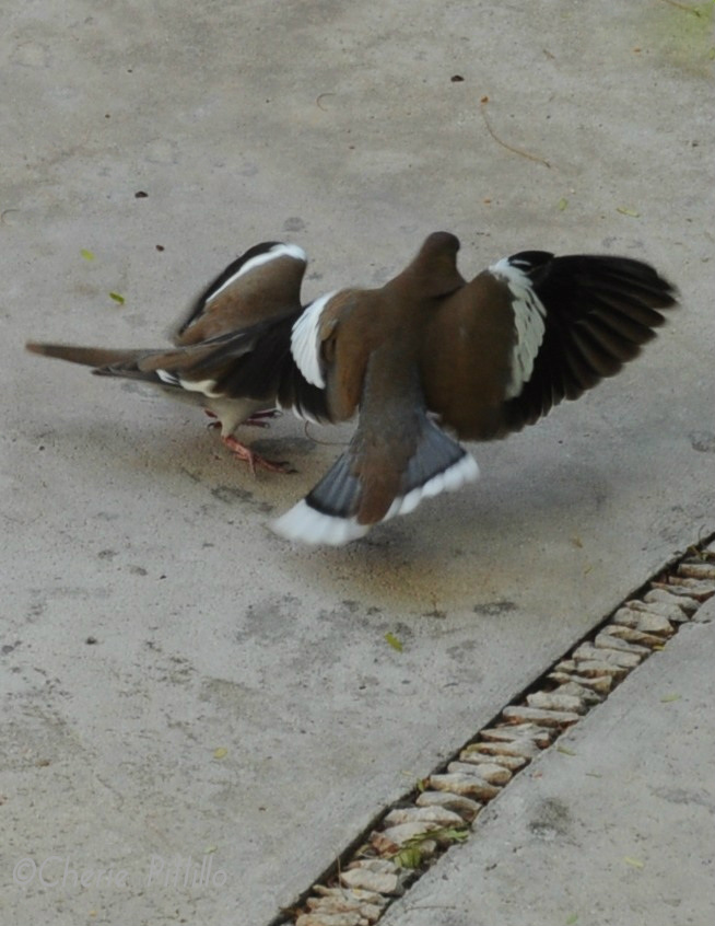Territorial male White-winged Dove wing slaps intruder