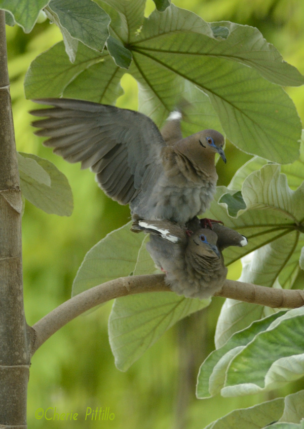 The mating game of White-winged Dove