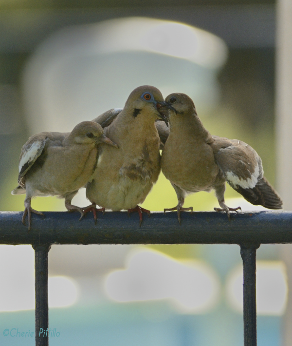 White-winged Dove feeds crop milk to chicks