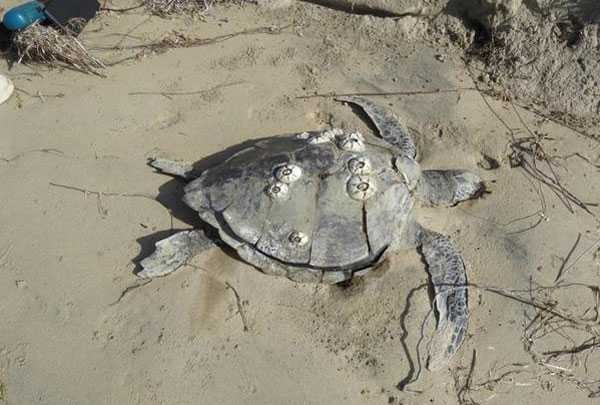 Dead Sea Turtle found i the coast of Baja California (Photo: Google)