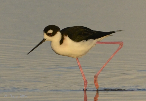 Black-necked Stilt, side view