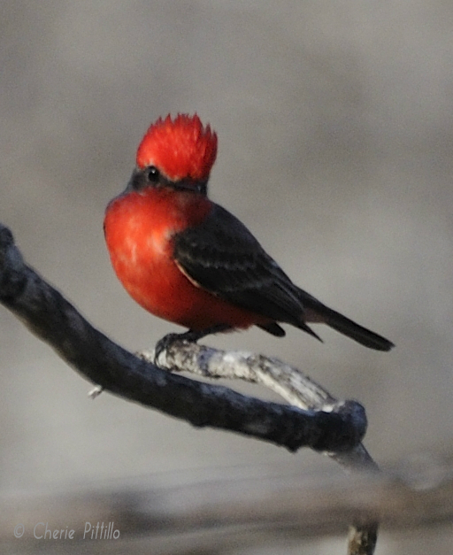Distressed Vermilion Flycatcher