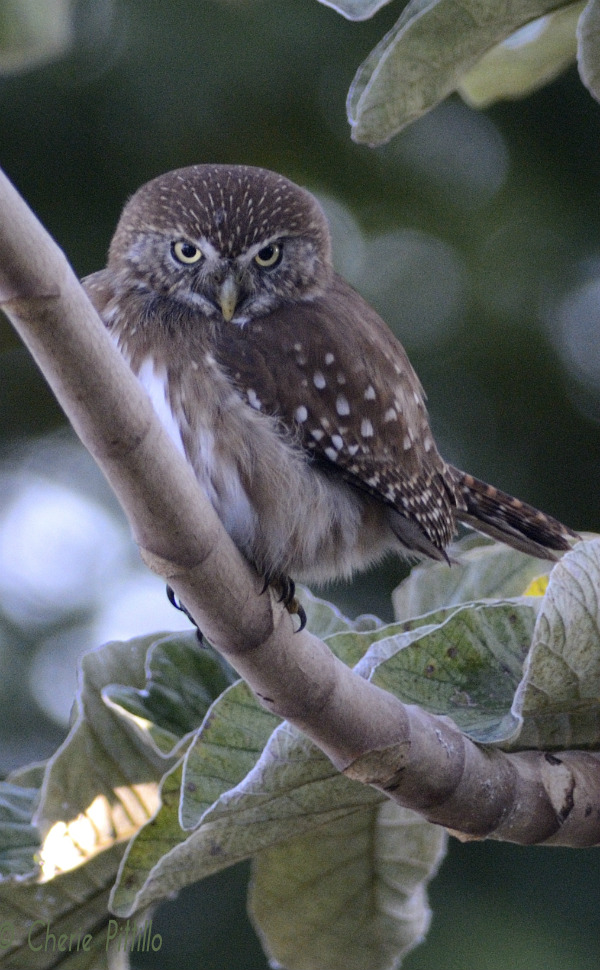 Ferruginous Pygmy Owl appears angry due to head position and feather coloration