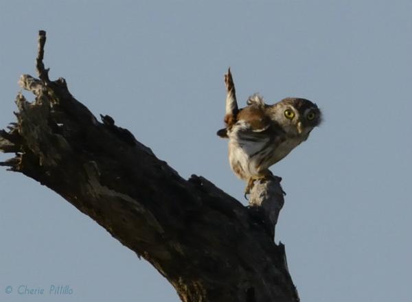 Ferruginous Pygmy Owl imitates dead tree