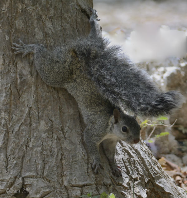 Gray Squirrel carries its own sun-brella