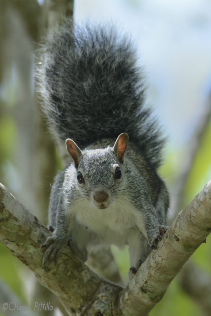 Gray Squirrel scampers through the trees for a half an hour to reach a water source
