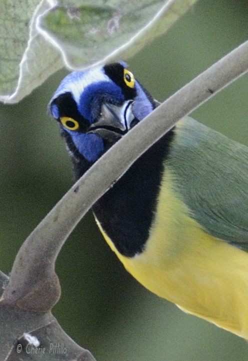 Green Jay hunts for food