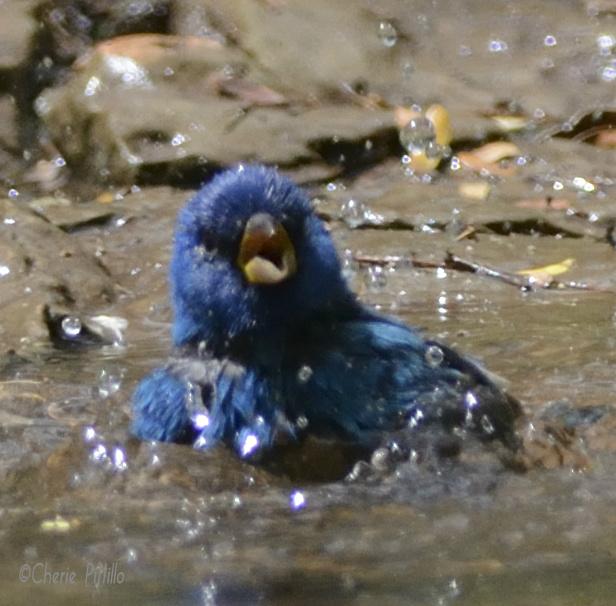 Indigo Bunting bathes