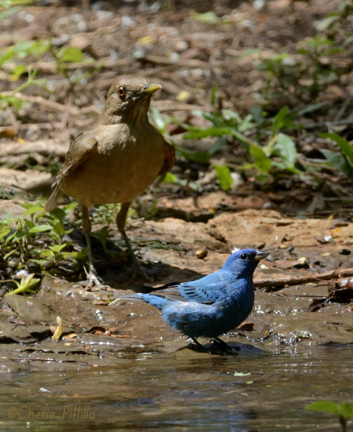 Larger Clay-colored Thrush rules the waterhole and threatened the Indigo Bunting