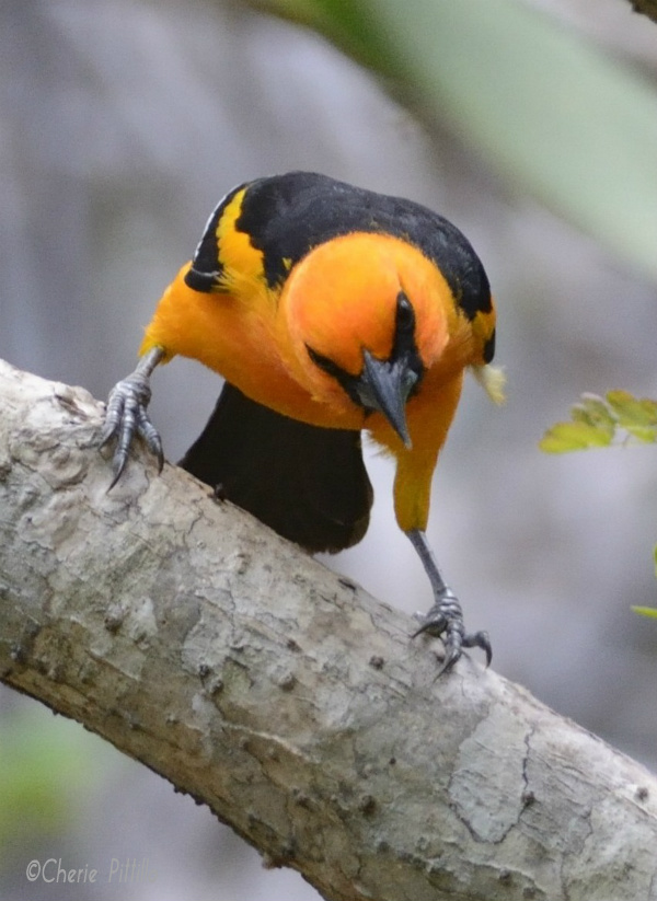 Male Altamira Oriole scouts out all surroundings near water source
